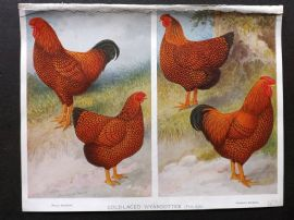 A. F. Lydon C1905 Bird Poultry Print 02